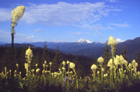picture of blooming  beargrass and mountain in distance