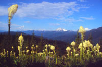 MT bear grass scenic
